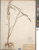 view Muhlenbergia mexicana var. filiformis (Torr.) Scribn. digital asset number 1