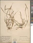 view Tragus berteronianus Schult. digital asset number 1