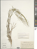 view Digitaria cognata (Scult.) Pilg. digital asset number 1