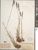 view Koeleria altaica (Domin) Krylov digital asset number 1