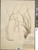 view Muhlenbergia paniculata (Nutt.) Columbus digital asset number 1