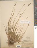 view Danthonia decumbens (L.) DC. digital asset number 1