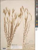 view Gymnopogon foliosus (Willd.) Nees digital asset number 1