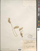view Koeleria barbinodis (Trin.) Barbera et al. digital asset number 1