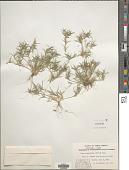 view Munroa squarrosa (Nutt.) Torr. digital asset number 1