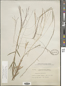 view Gymnopogon burchellii (Munro ex Döll) Ekman digital asset number 1