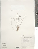 view Muhlenbergia peruviana (P. Beauv.) Steud. digital asset number 1