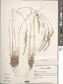 view Muhlenbergia tricholepis (Torr.) Columbus digital asset number 1