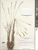view Koeleria macrantha (Ledeb.) Schult. digital asset number 1