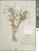 view Muhlenbergia diversiglumis Trin. digital asset number 1