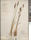 view Koeleria spicata ined. digital asset number 1