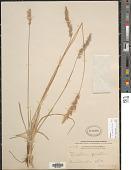 view Koeleria caudulata (Trin.) Griseb. digital asset number 1