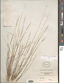 view Triplasis purpurea (Walter) Chapm. digital asset number 1