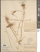 view Dasypyrum villosum (L.) P. Candargy digital asset number 1