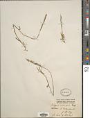 view Tragus australianus S.T. Blake digital asset number 1