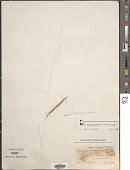view Gouinia brasiliensis (S. Moore) Swallen digital asset number 1