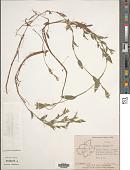 view Digitaria compacta (Roth) Veldkamp digital asset number 1
