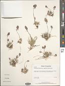view Erioneuron avenaceum (Kunth) Tateoka digital asset number 1