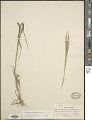 view Muhlenbergia racemosa (Michx.) Britton et al. digital asset number 1