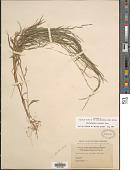 view Muhlenbergia schreberi J.F. Gmel. digital asset number 1