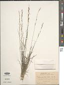 view Tridentopsis mutica (Torr.) P.M. Peterson digital asset number 1