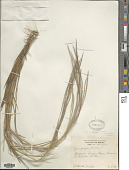 view Gymnopogon legrandii Roseng. digital asset number 1