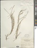 view Paspalum stagnophilum Morrone & Zuloaga digital asset number 1
