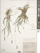 view Cenchrus americanus (L.) Morrone digital asset number 1