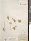 view Dasyochloa pulchella (Kunth) Willd. ex Rydb. digital asset number 1