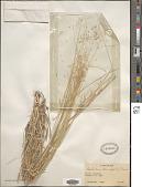 view Tricholaena teneriffae (L.) Link digital asset number 1