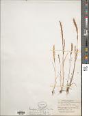 view Gaudinopsis macra (Steven ex M. Bieb.) Eig digital asset number 1