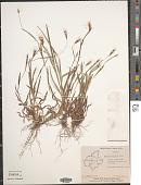 view Apocopis courtallumensis (Steud.) Henrard digital asset number 1