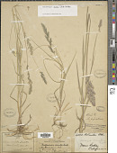 view Muhlenbergia andina (Nutt.) Hitchc. digital asset number 1
