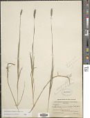 view Muhlenbergia glomerata (Willd.) Trin. digital asset number 1