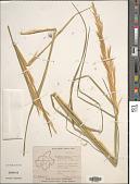 view Chrysopogon lawsonii (Hook. f.) Veldkamp digital asset number 1