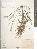 view Digitaria insularis (L.) Fedde digital asset number 1