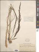 view Muhlenbergia rigida (Kunth) Kunth digital asset number 1