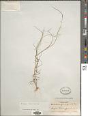 view Muhlenbergia implicata (Kunth) Trin. digital asset number 1
