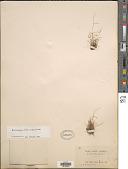 view Muhlenbergia ciliata (Kunth) Trin. digital asset number 1