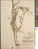 view Mnesithea granularis (L.) de Koning & Sosef digital asset number 1