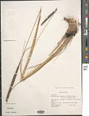 view Muhlenbergia coerulea (Griseb.) Mez digital asset number 1