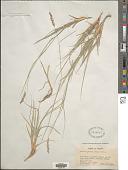 view Hilaria jamesii (Torr.) Benth. digital asset number 1