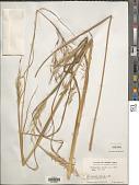 view Chrysopogon gryllus (L.) Trin. digital asset number 1