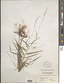 view Muhlenbergia sobolifera (Muhl. ex Willd.) Trin. digital asset number 1