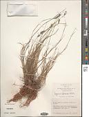 view Muhlenbergia phleoides (Kunth) Columbus digital asset number 1