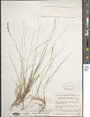 view Muhlenbergia richardsonis (Trin.) Rydb. digital asset number 1