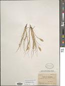 view Distichlis spicata subsp. stricta digital asset number 1