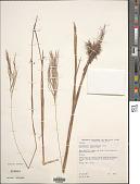 view Gymnopogon fastigiatus Nees digital asset number 1