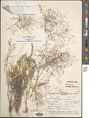 view Muhlenbergia porteri Scribn. in Beal digital asset number 1