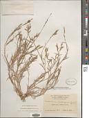 view Trichoneura lindleyana (Kunth) Ekman digital asset number 1